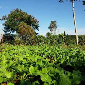 Panen Sawi Organik di Cipendawa Farmers